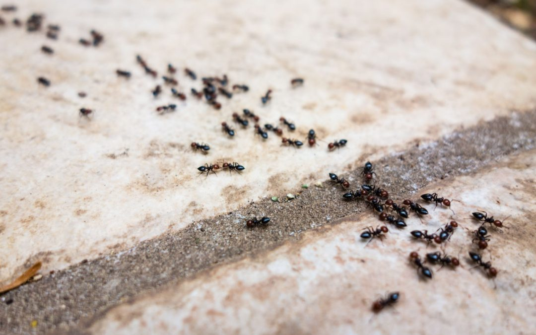 Why Do Ants Come into Homes?