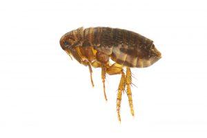 Flea-control-bristol