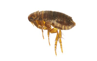 DO YOU HAVE FLEAS IN YOUR HOME?