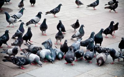 How to Get Rid of Pigeons