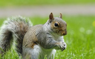 Squirrel Infestations and How To Deal With Them