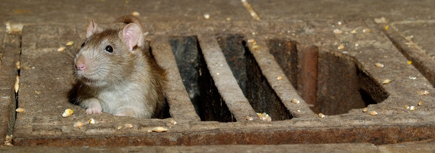 Rats and Drainage Problems