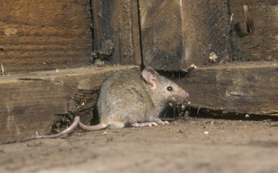 Mouse Control – How to identify and treat mice infestations