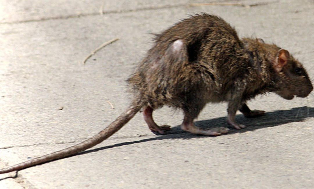 Keep Rats Away From Your Home This Winter