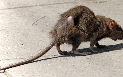 How To Keep Rats Out Of Your Home Or Business?