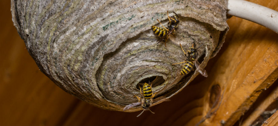 Wasp Nests: Identification and Removal