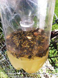 wasp-trap